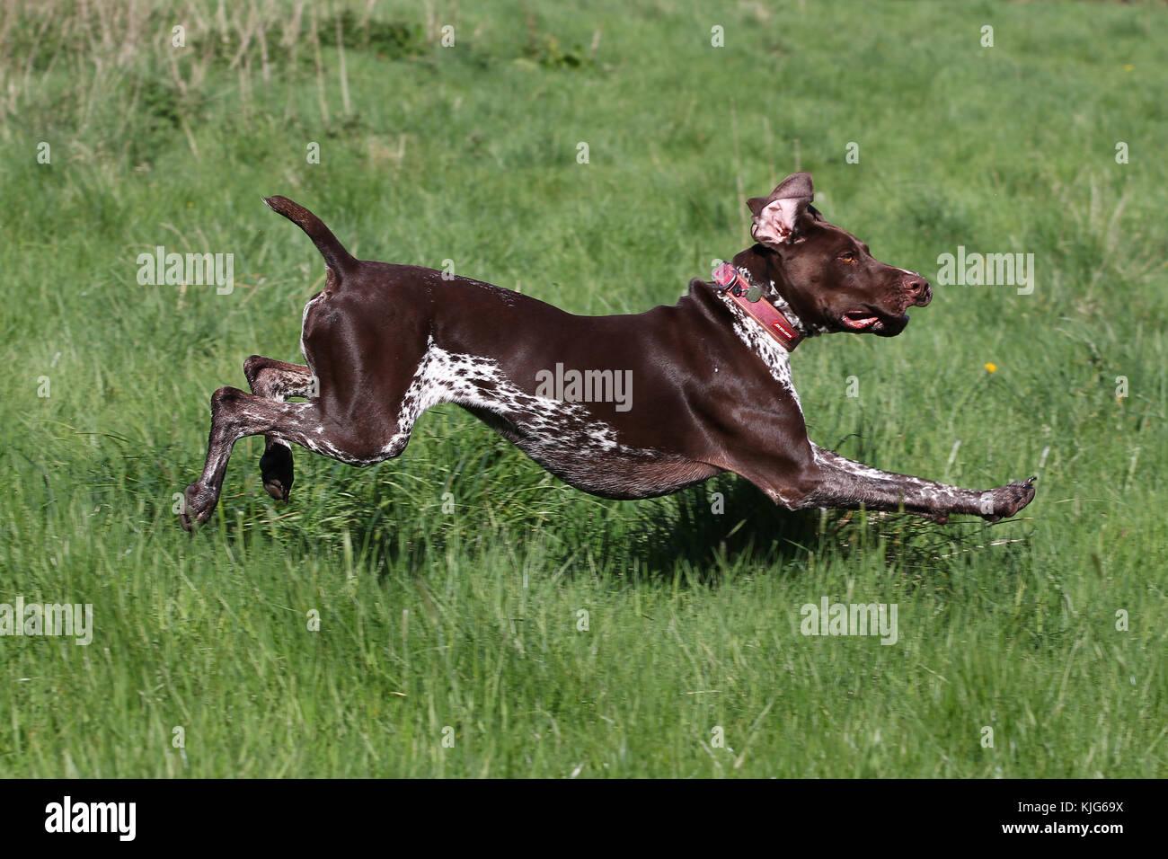 Zeiger - Deutsch Kurzhaar Deutsch Kurzhaar Pointer deutsche Vorstehhund Stockbild