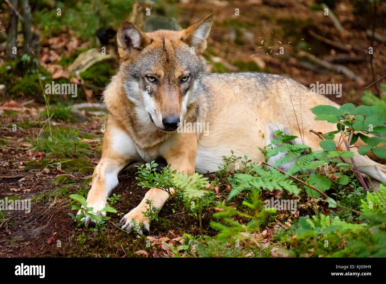 Wolf (Canis lupus), Tier-Freigelände im Nationalparkzentrum Falkenstein, Nationalpark Bayerischer Wald, Niederbayern, Stockbild