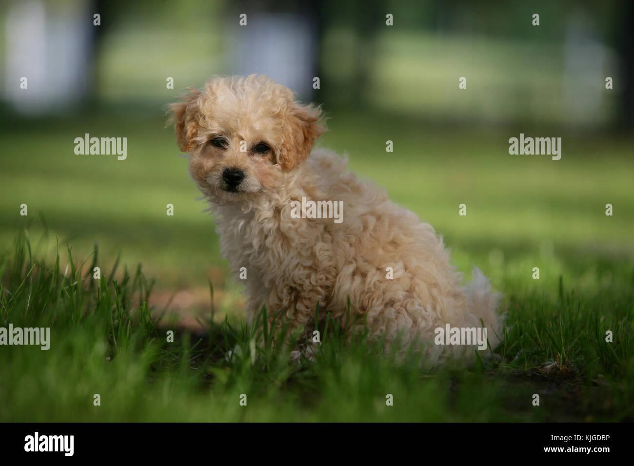 Pudel Terrier Stockfotos und bilder Kaufen Alamy