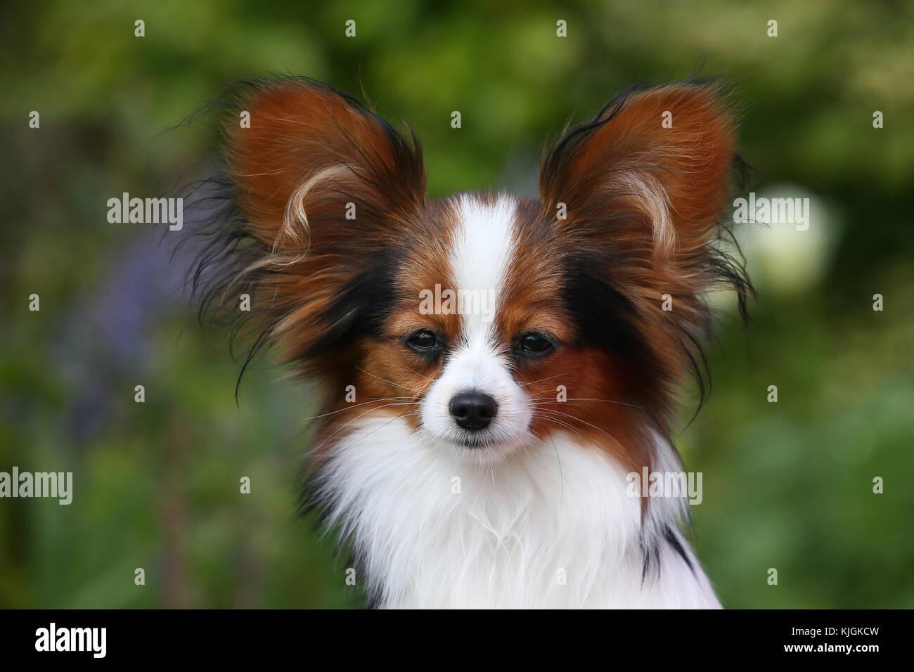 Papillon, Continental Toy Spaniel Schmetterling Hund Stockbild