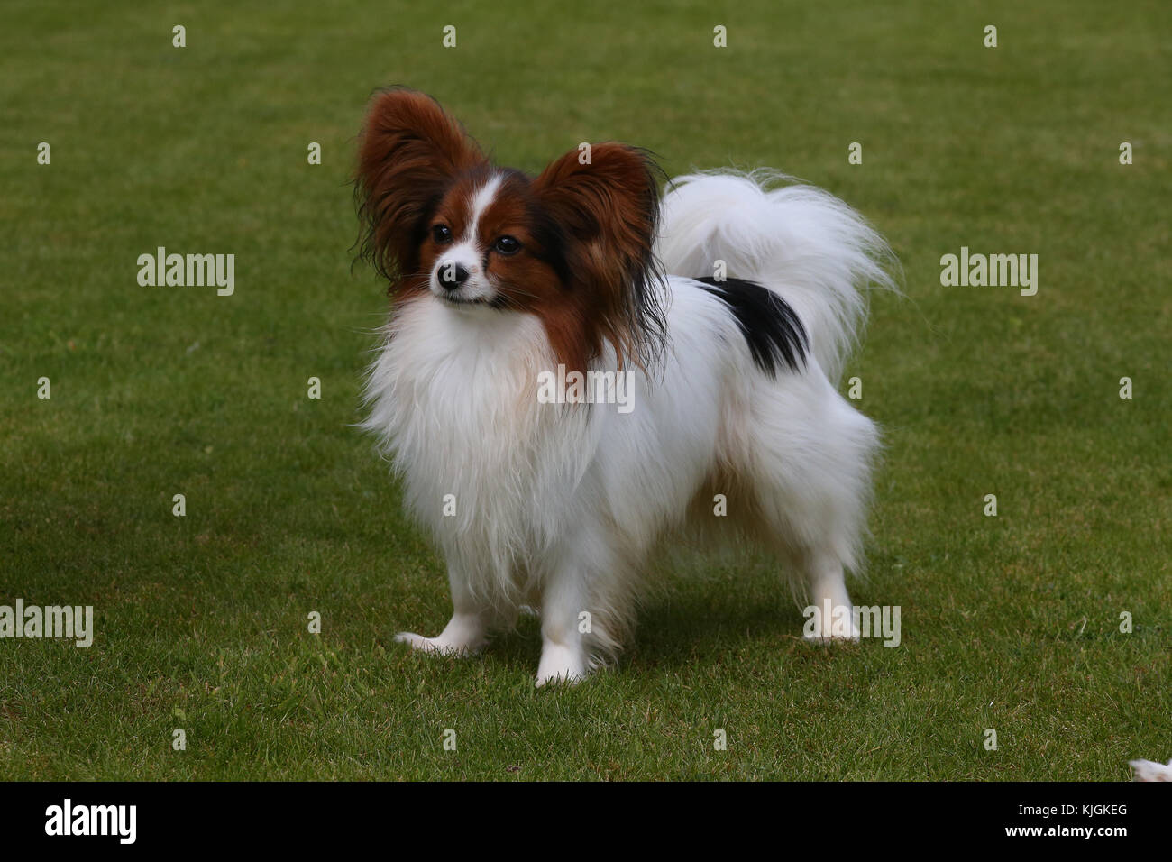 Papillon, Continental Toy Spaniel Schmetterling Hund Stockbild