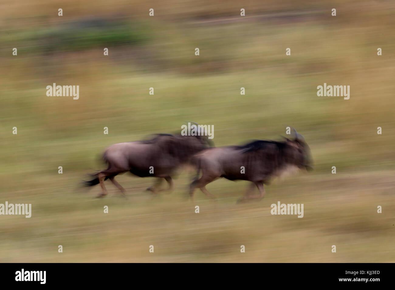 Motion Blur von 2 laufende Gnus (connochaetes Taurinus) im hohen Gras. Masai Mara Game Reserve. Kenia. Stockbild