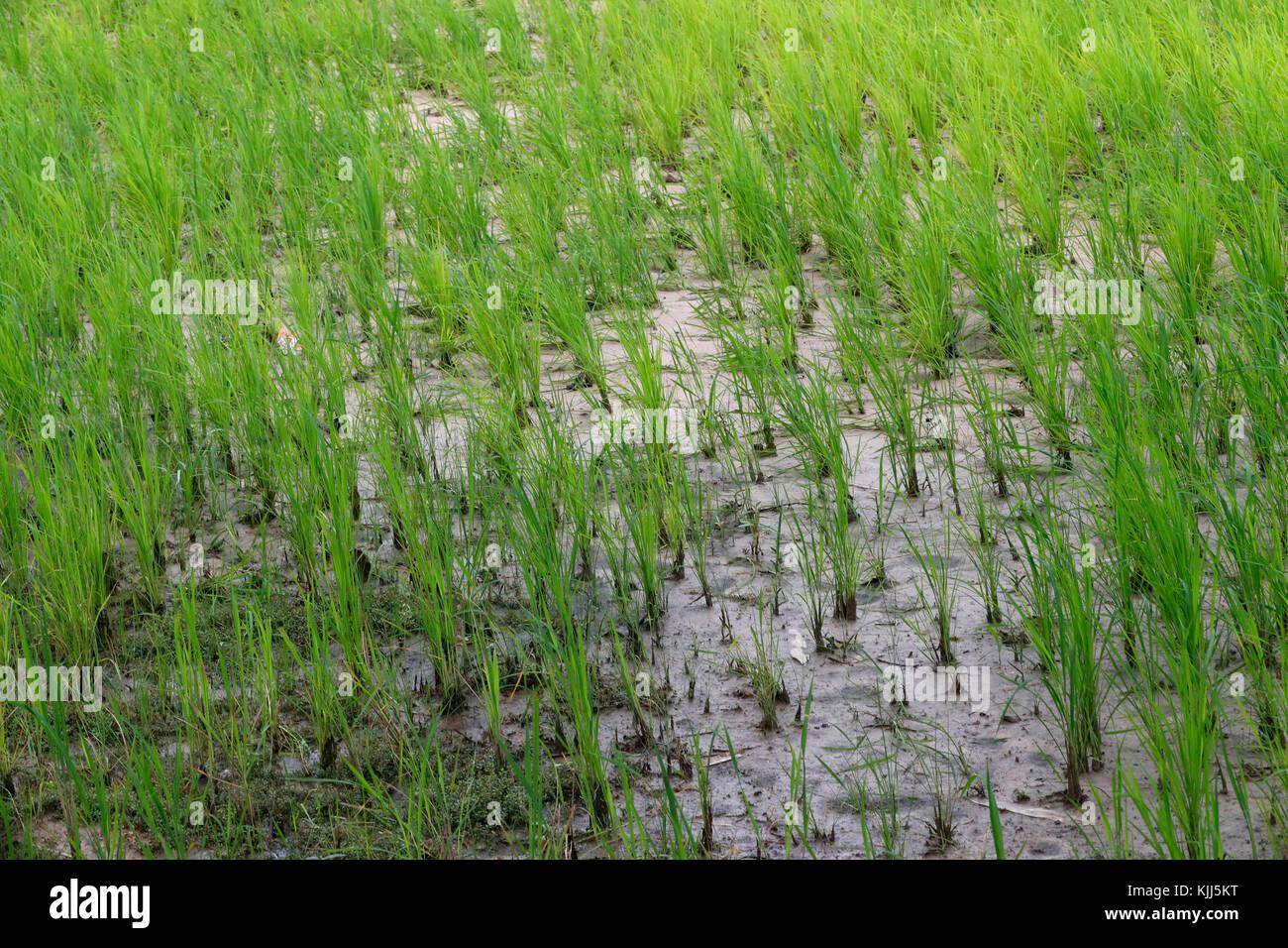 Die Landwirtschaft. Der Reisanbau in einem Reisfeld. Kon Tum. Vietnam. Stockbild
