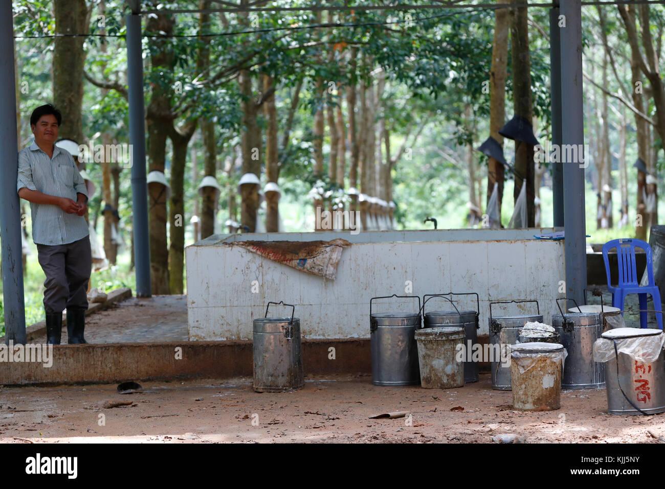 Gummibaum Plantage, Gummibaum Latex und Gummi. Kon Tum. Vietnam. Stockbild