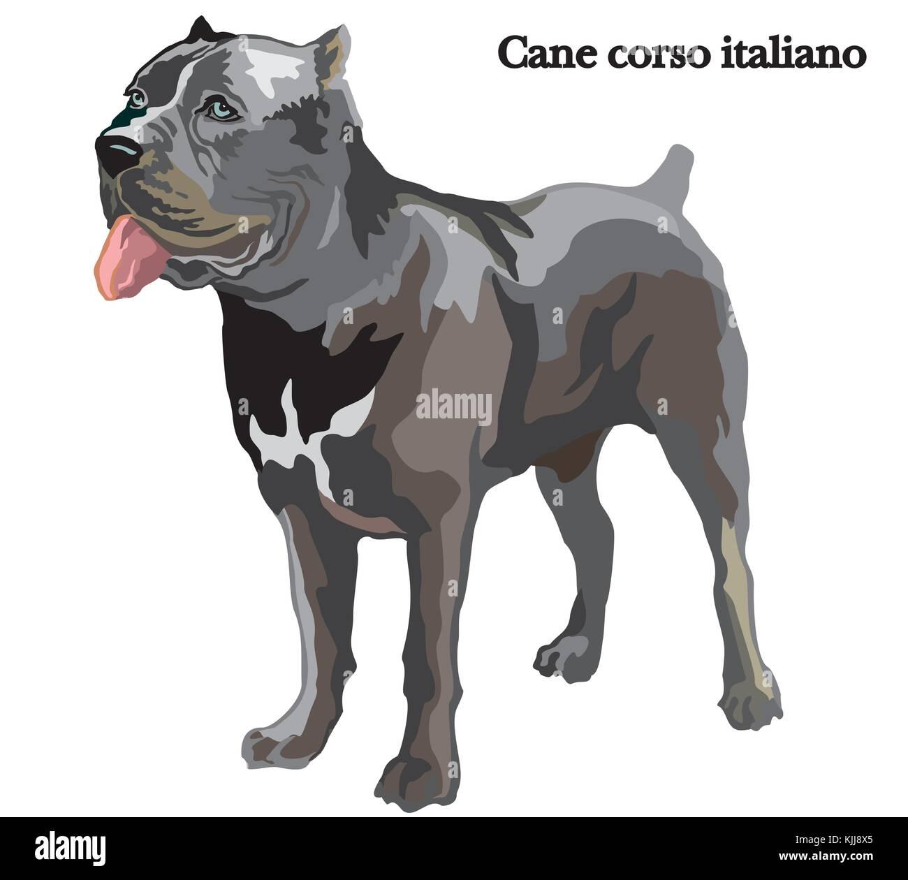 Portrait Von Ständigen Hund Cane Corso Italiano Vektor Bunte