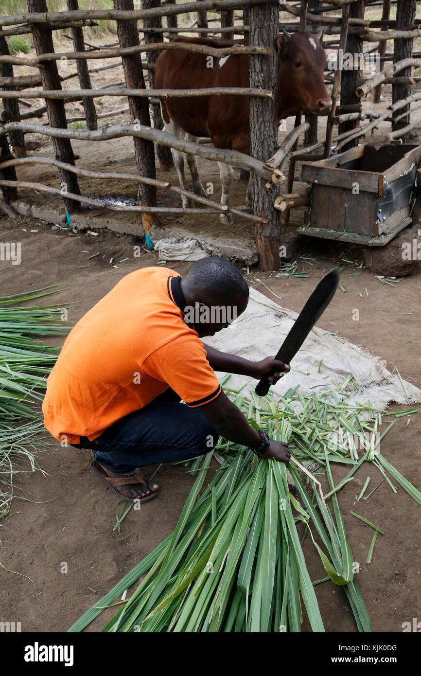 Boniface Tukwas?bwe, UKS Gemeinschaft Entwicklungskoordinator, hacken Futter für eine Färse, Mary Birunga, Stockbild