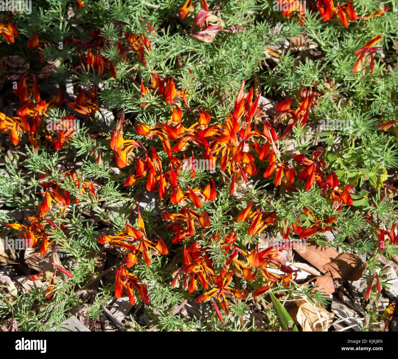 Rot Und Orange Lotus Pflanze Lotus Maculatus Ist Eine Winterharte