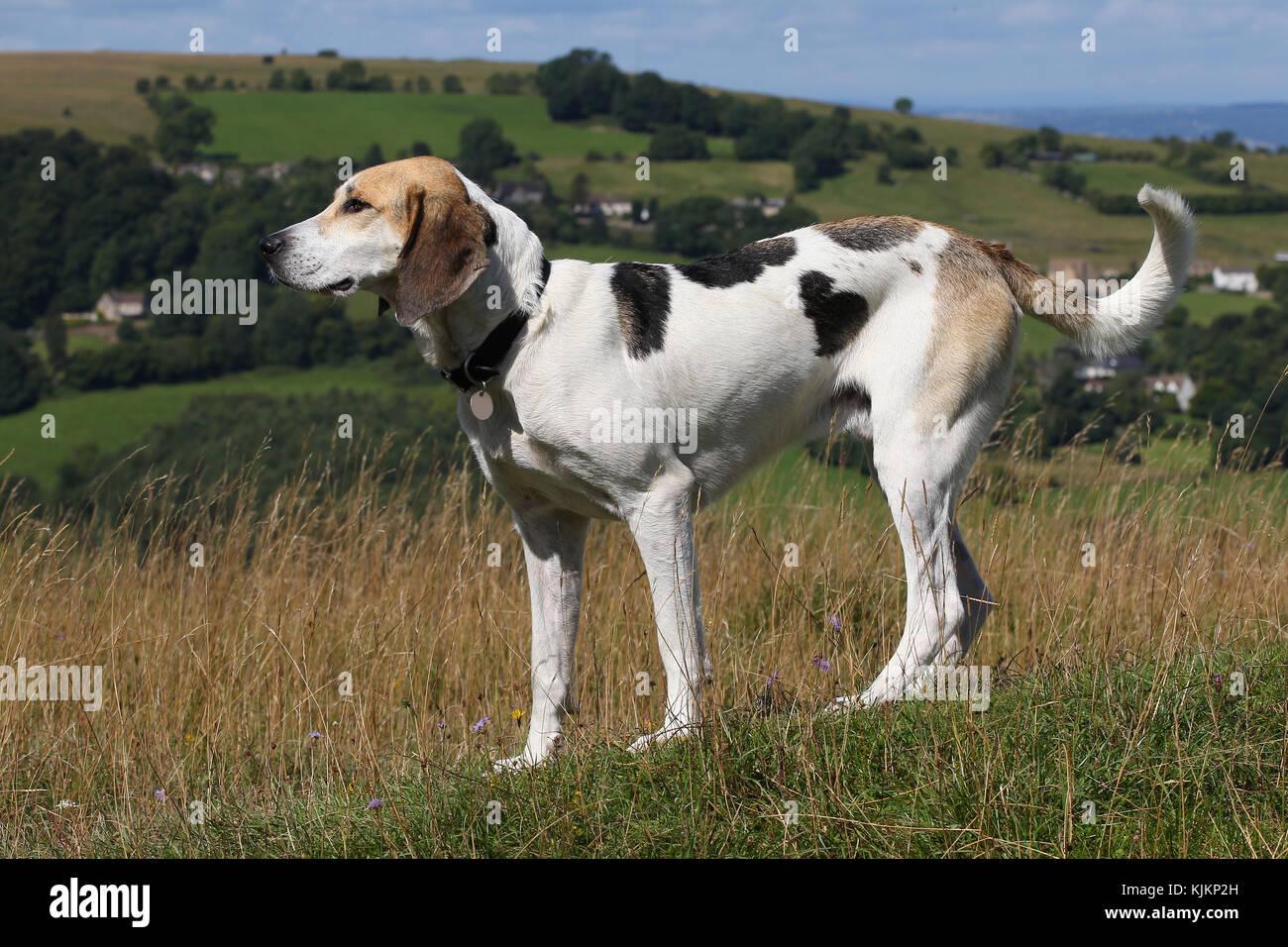 Harrier Hund Stockbild