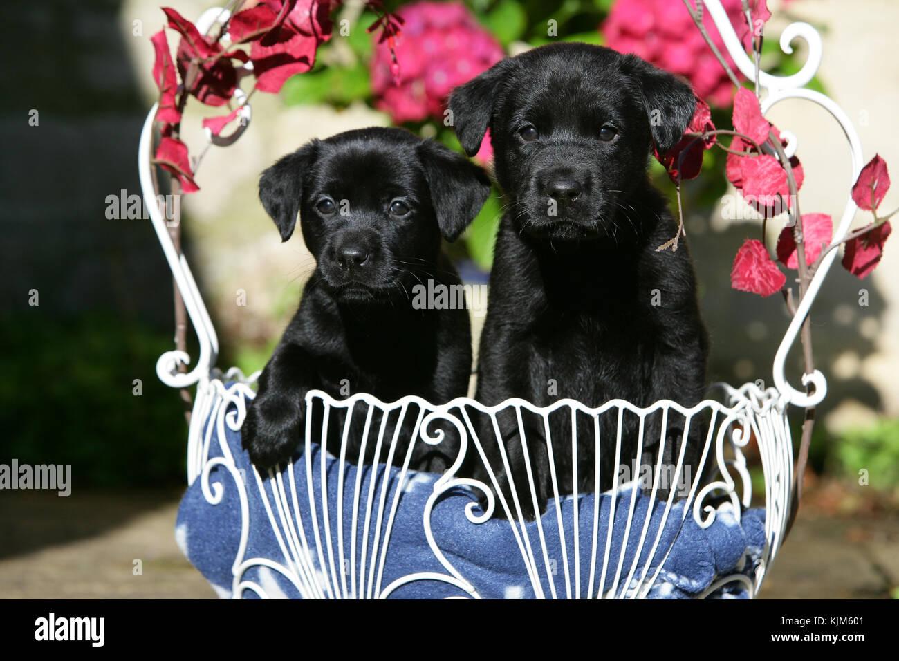 - Schwarzer Labrador Retriever schwarz, Labrador Retriever schwarz, Labrador Stockbild