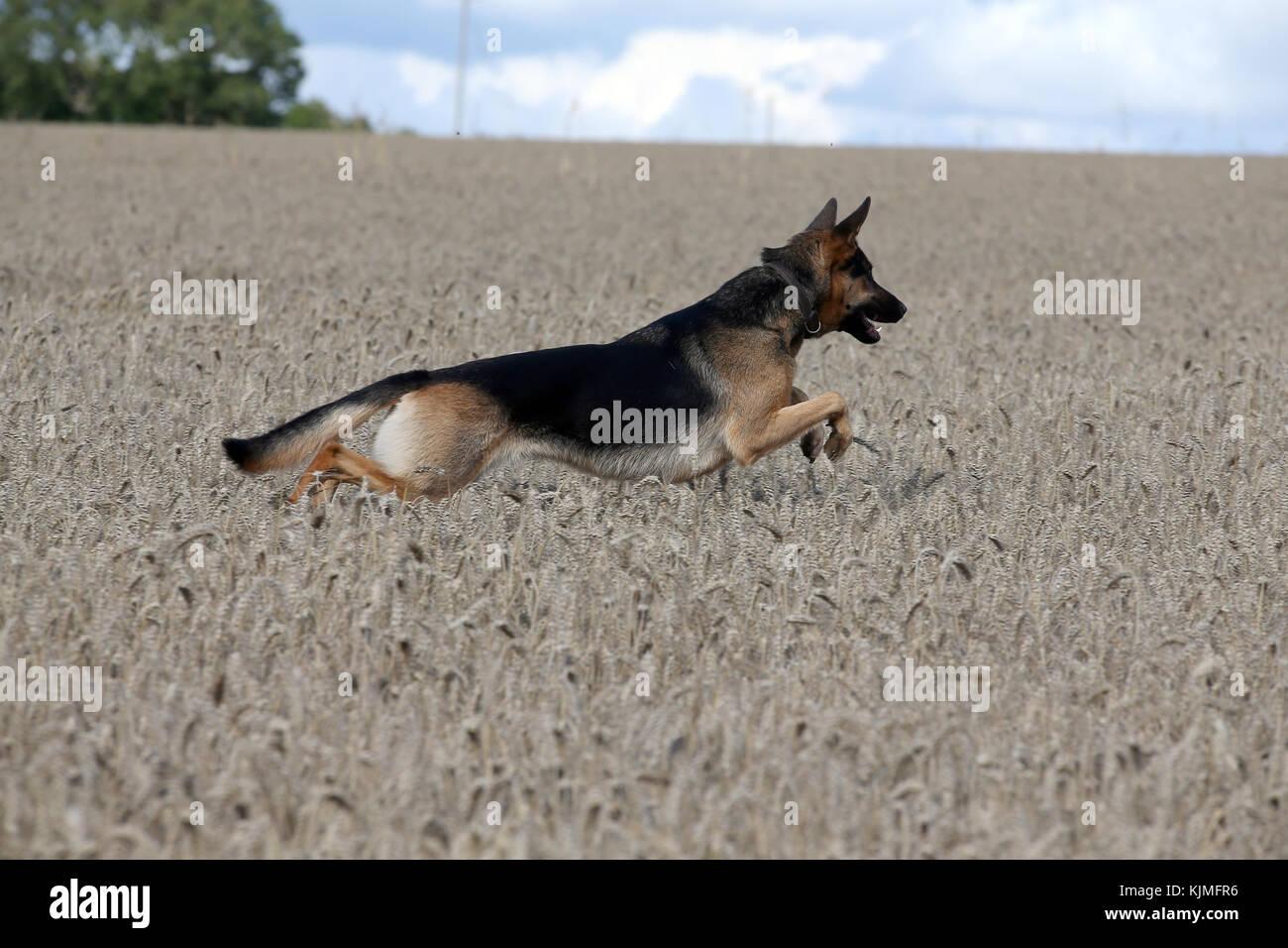 Schäferhund - Deutscher Schäferhund Deutscher Schäferhund Stockbild