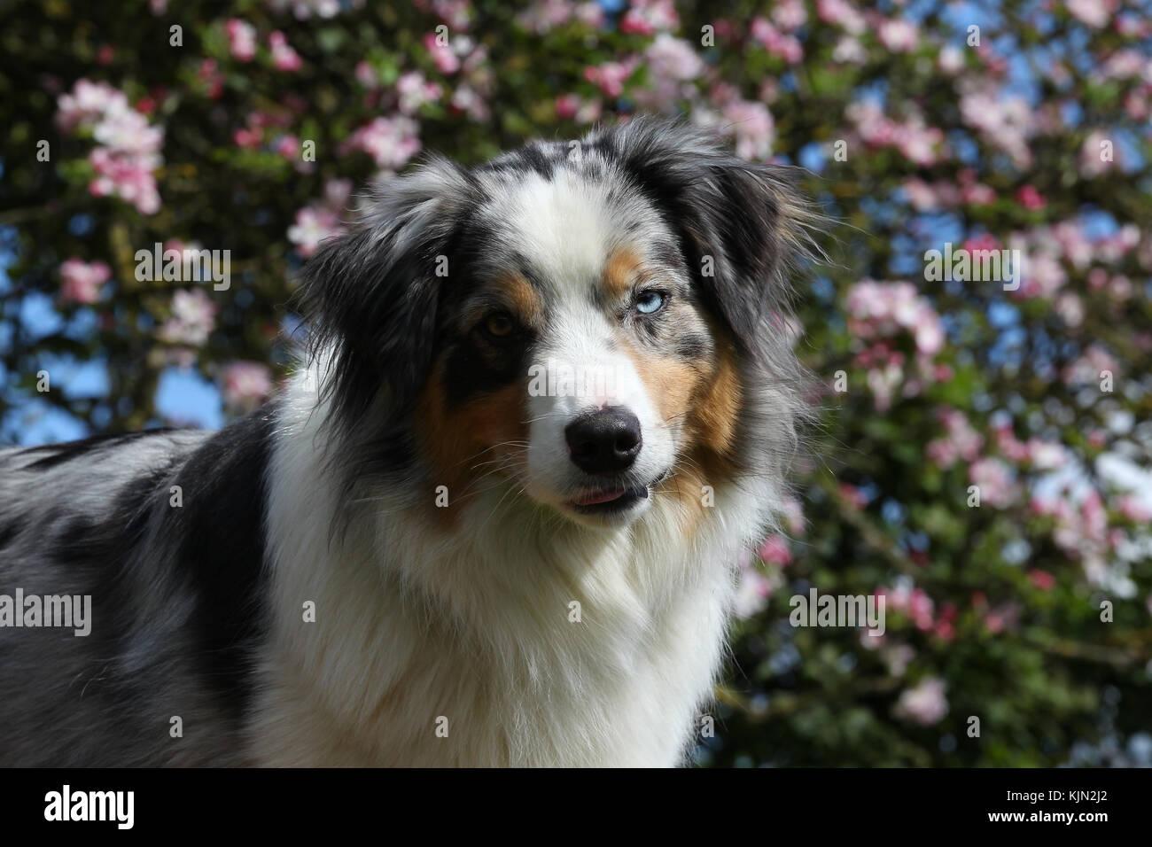 Australian Shepherd - Australian Shepherd aussie Hirte Stockbild