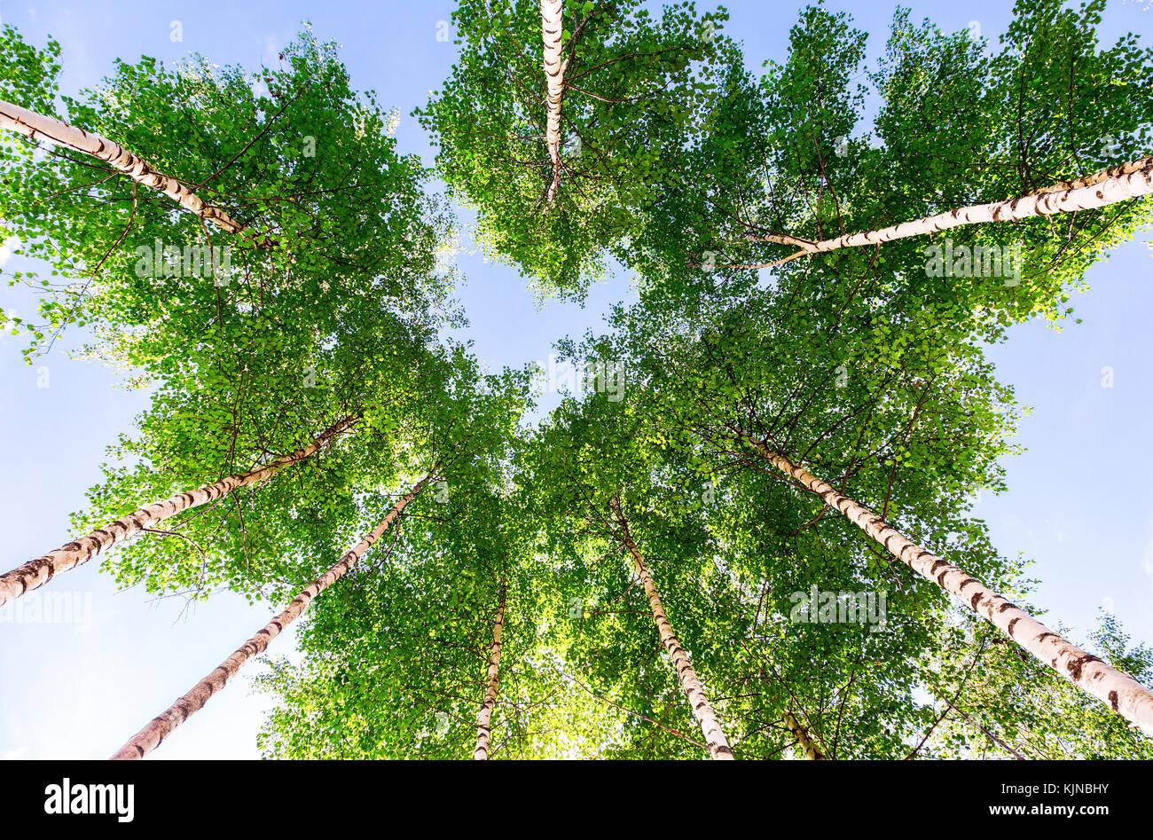 Kronen der hohen Birken im Wald vor blauem Himmel. Laubwald im Sommer Stockbild