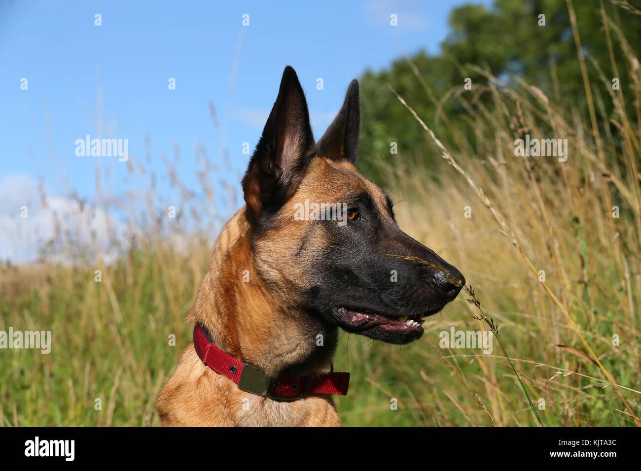 Hirte - belgischer Malinois belgischer Schäferhund Belgischer Schäferhund Stockbild