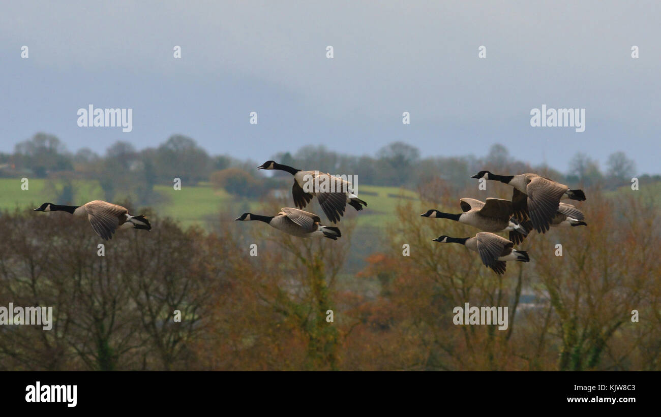 Chew Valley, VK. UK Wetter. Ein Schwarm Gänse gesehen Fliegen über Chew Valley Seen in der sehr kalten Stockbild