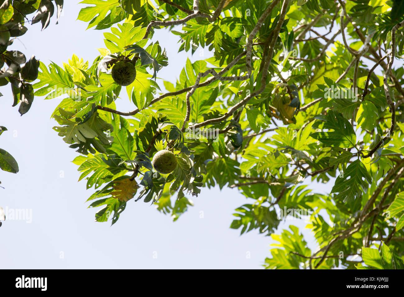Sansibar, Tansania; Brotfrucht wächst Gewürz Bauernhof auf der Insel. Die Frucht ist reich an Vitamin Stockbild