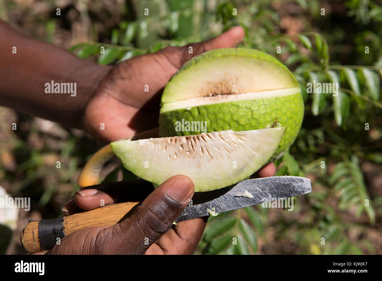 Sansibar, Tansania; ein Gewürz Landwirt Schnitte öffnen einer seiner kultivierten Brotfrucht. Die Frucht Stockbild