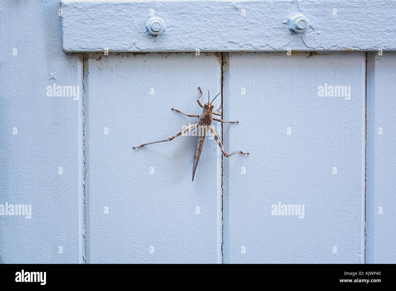 Grasshopper ruht auf einem Verschluss im Dorf Saint montan in der Ardeche Region in Frankreich Stockbild