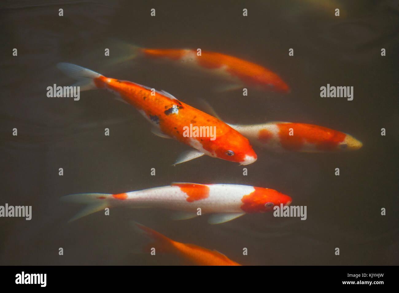 Lust auf Karpfen fischen oder Koi Fisch/Farben Schwarz, Orange, Weiß ...