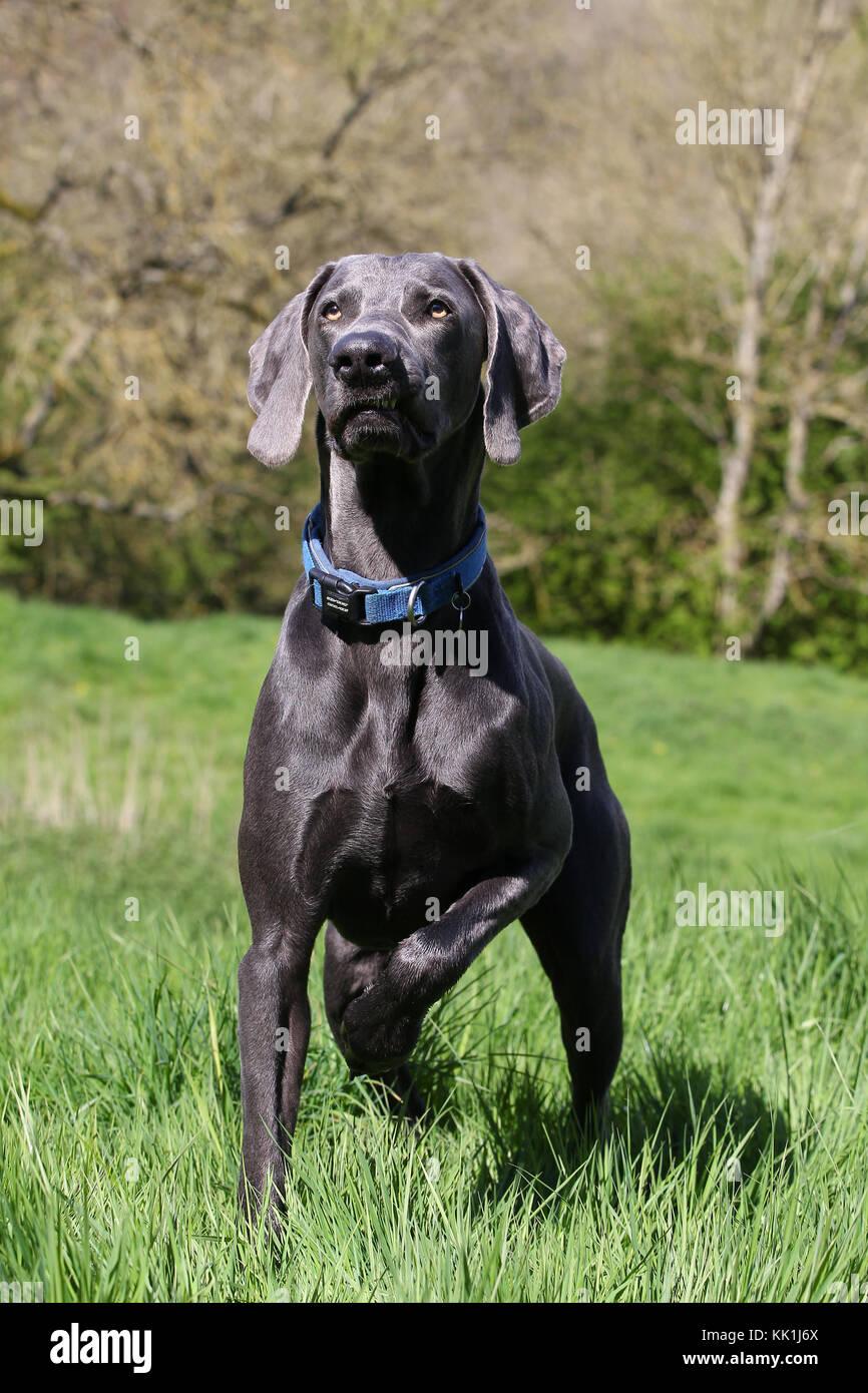 Weimaraner weimaraner Vorstehhund blau Stockbild