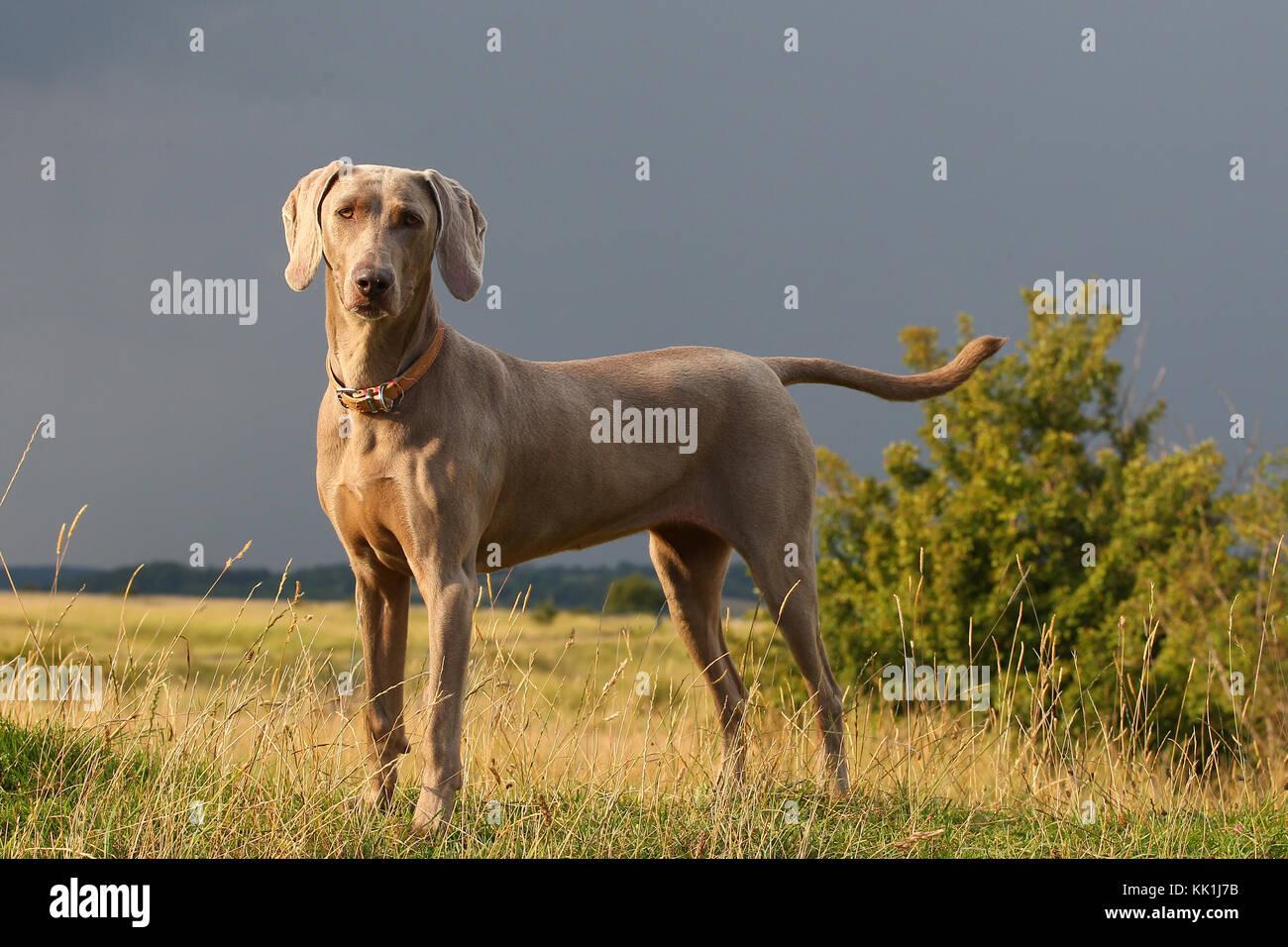 Weimaraner weimaraner Vorstehhund ständigen Hill Top Stockbild