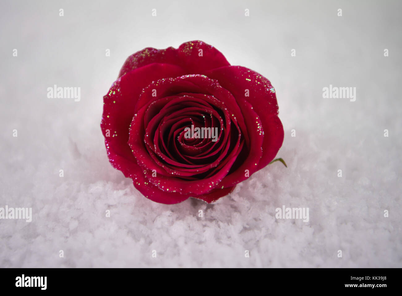 Romantischer Valentinstag Winter Fotografie Bild Von Red Rose Blume Im  Schnee Und In West Sussex An Der Südküste Von England Großbritannien