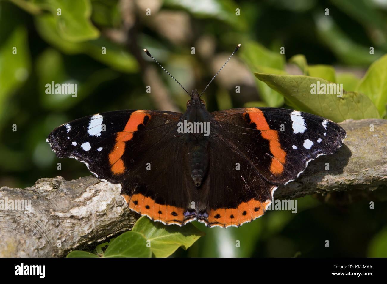 Red Admiral (Vanessa atalanta) Schmetterling ruht auf einem Zweig Stockfoto