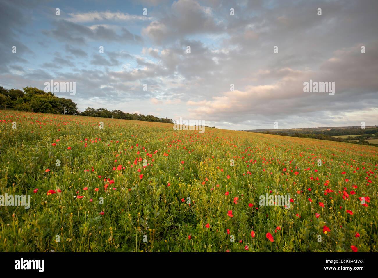 Mohnblumen bei Chartham Downs, North Downs, Canterbury, Kent, Großbritannien Stockbild