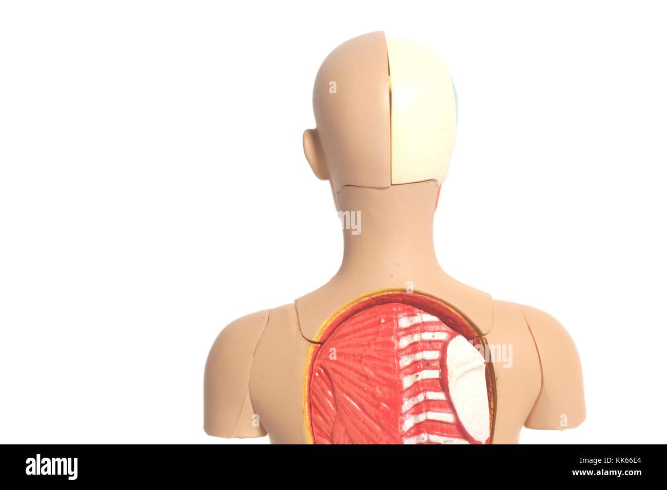 Beste Huhn Anatomie Modell Zeitgenössisch - Menschliche Anatomie ...