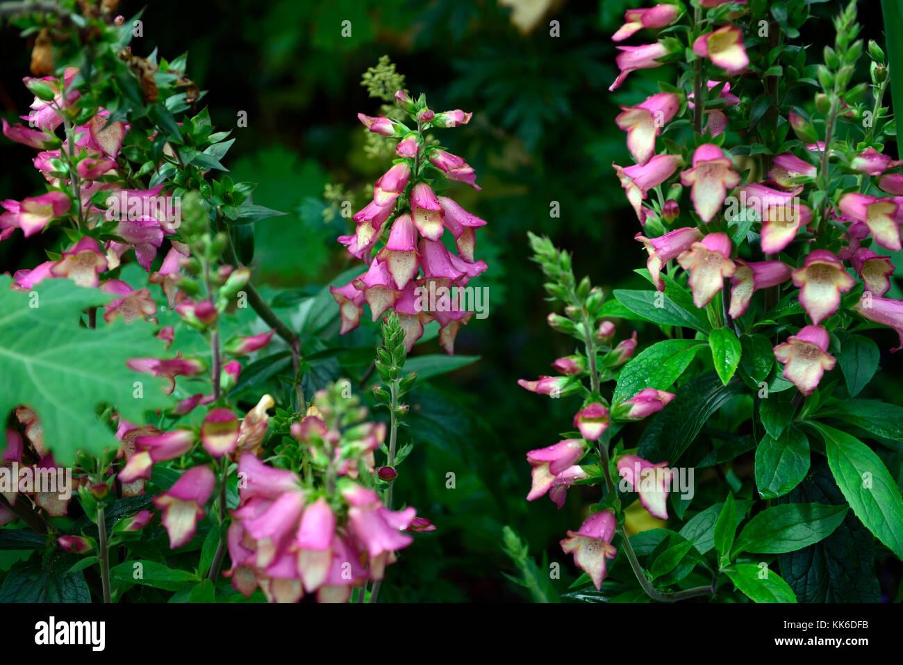 Digitalis Beleuchtung pink, Fingerhut, Fingerhut, steril, Hybrid, Isoplexis, mehrjährige Pflanze, Blume, Blumen, Stockbild