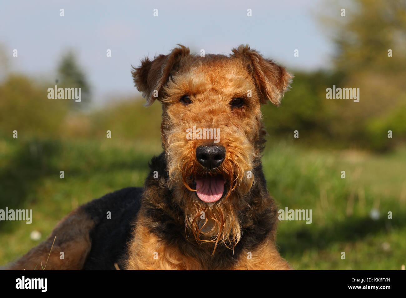 Terrier - Airedale Terrier Airedale Terrier Wasserseite Stockfoto