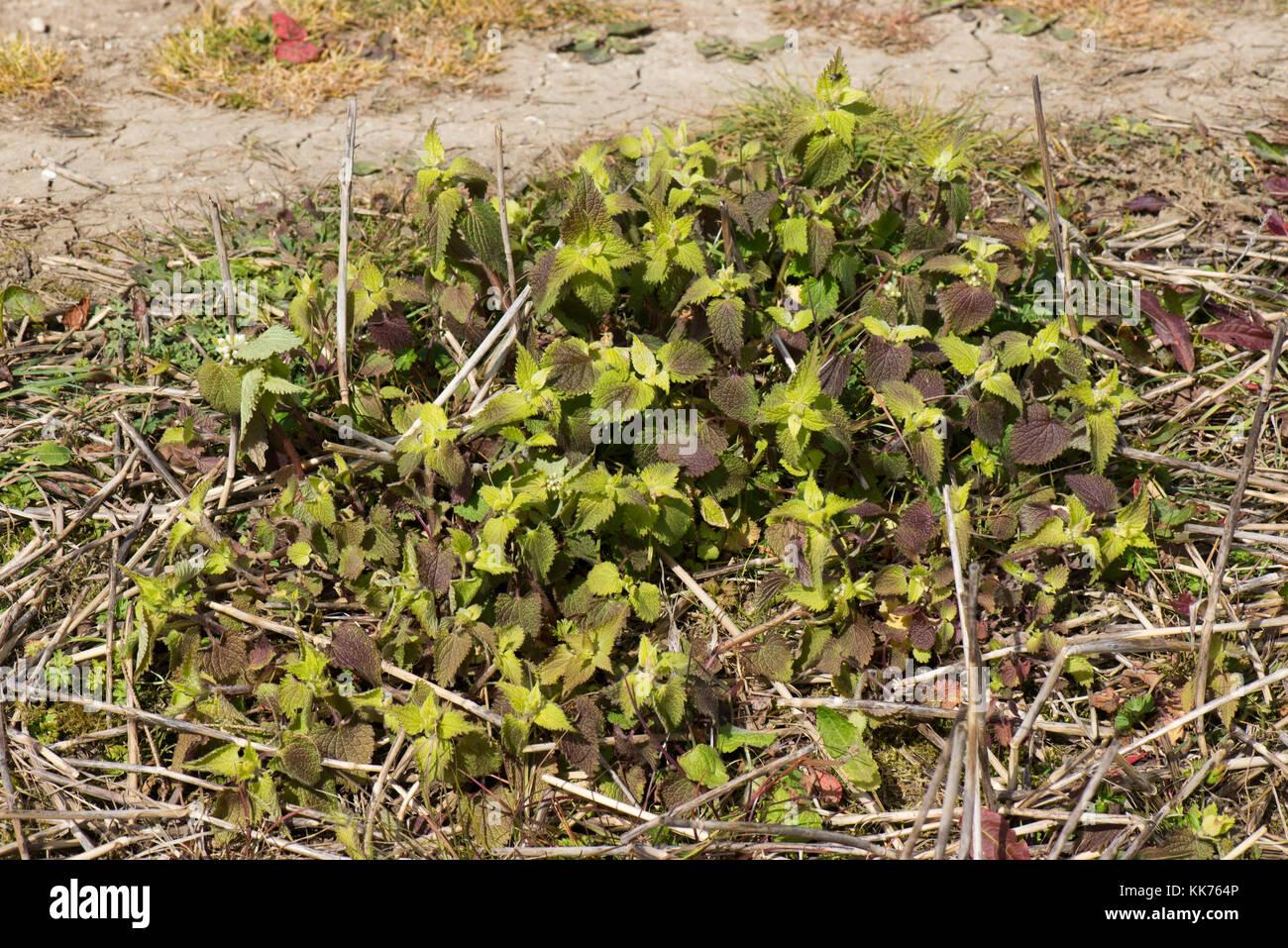 Weiß tot - Brennnessel, Lamium Album, behandelt und mit Glyphosat getötet Vor minimaler Anbau Saatbettbereitung Stockbild