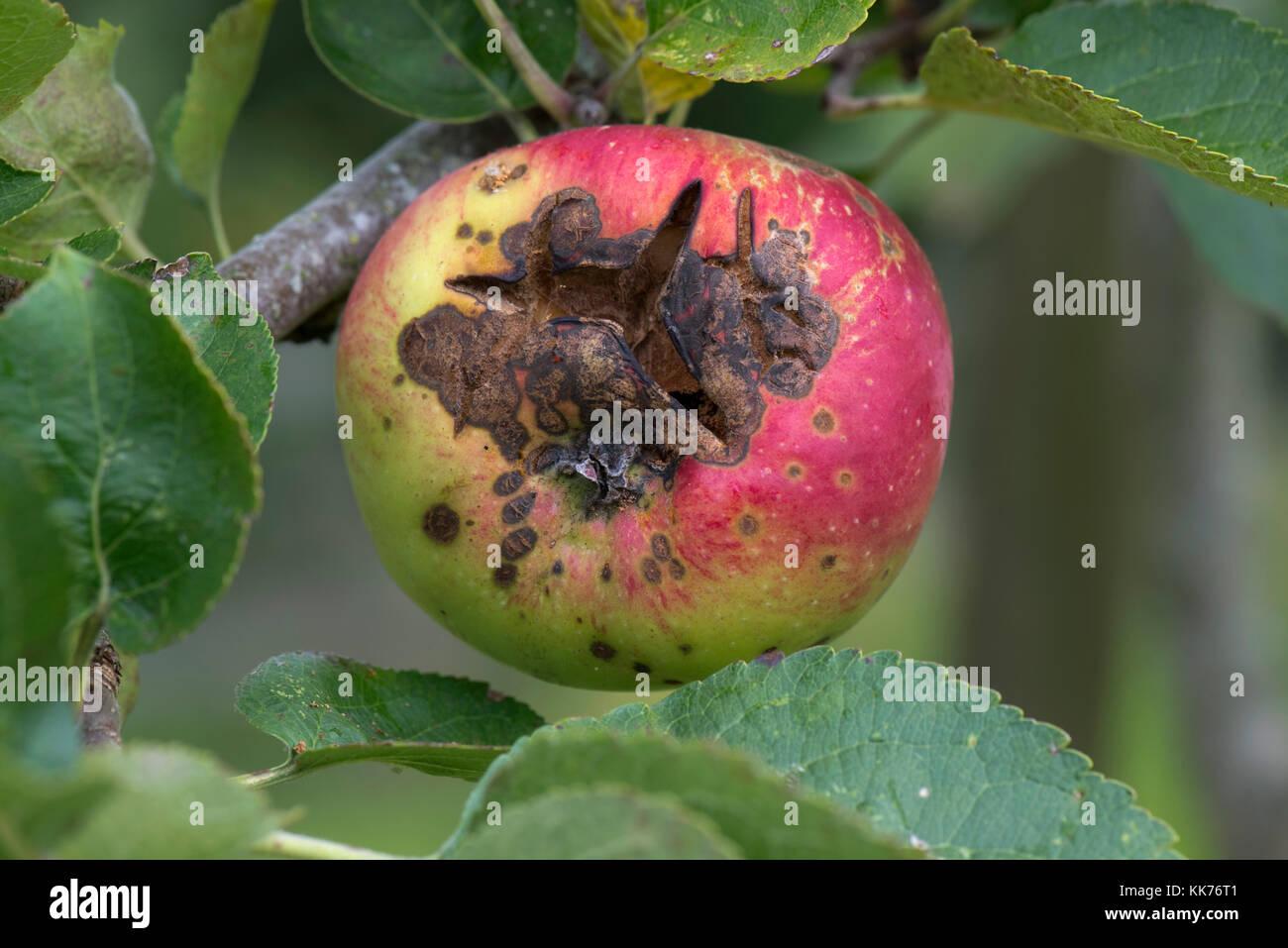 Nekrotische Flecken und Risse verursacht apple Venturia inaequalis Eiterweiß wird, auf einen reifen Apfel am Baum, Stockfoto