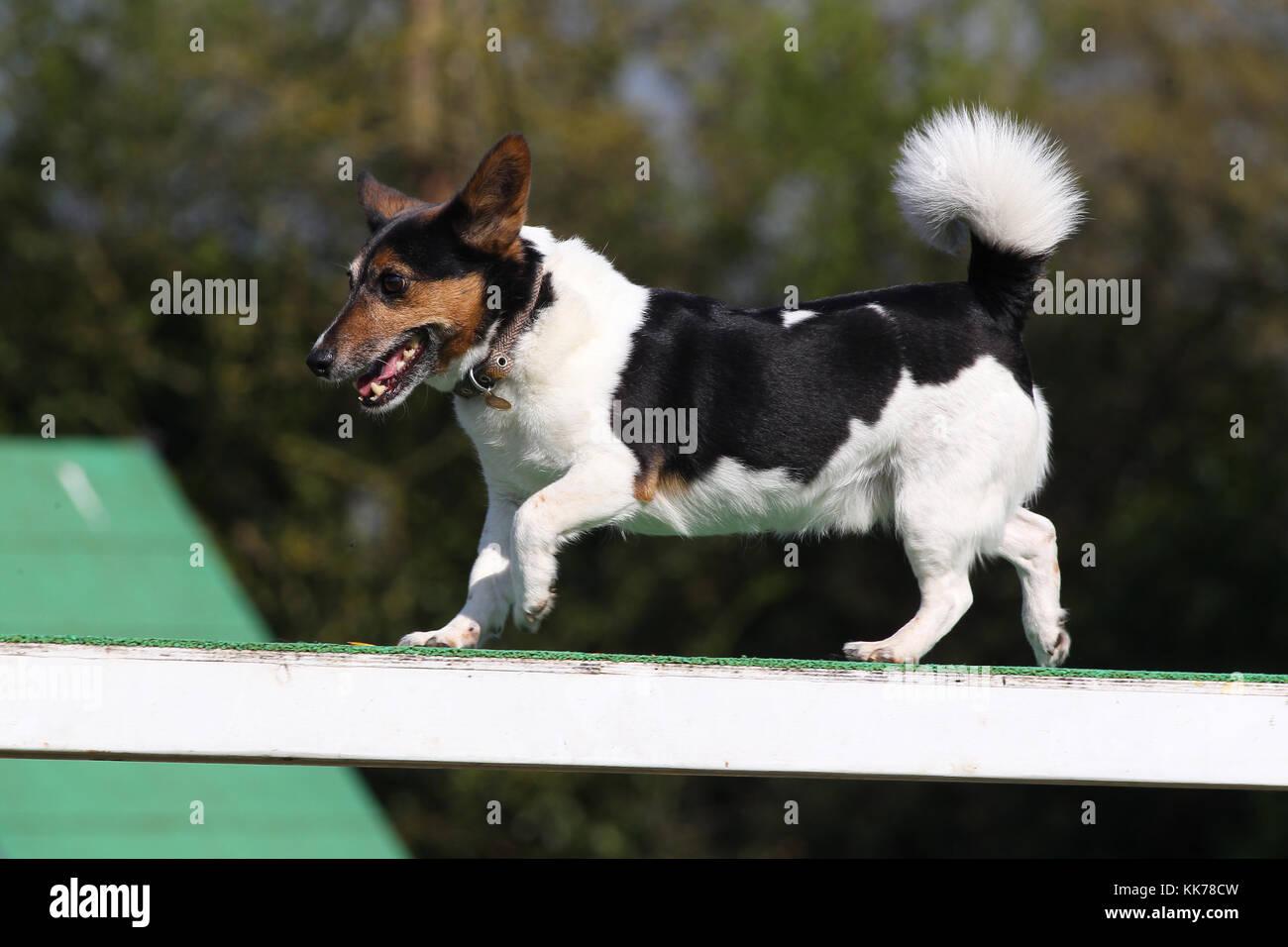 Agility Jack Russell Terrier laufender Hund Spaziergang Stockbild