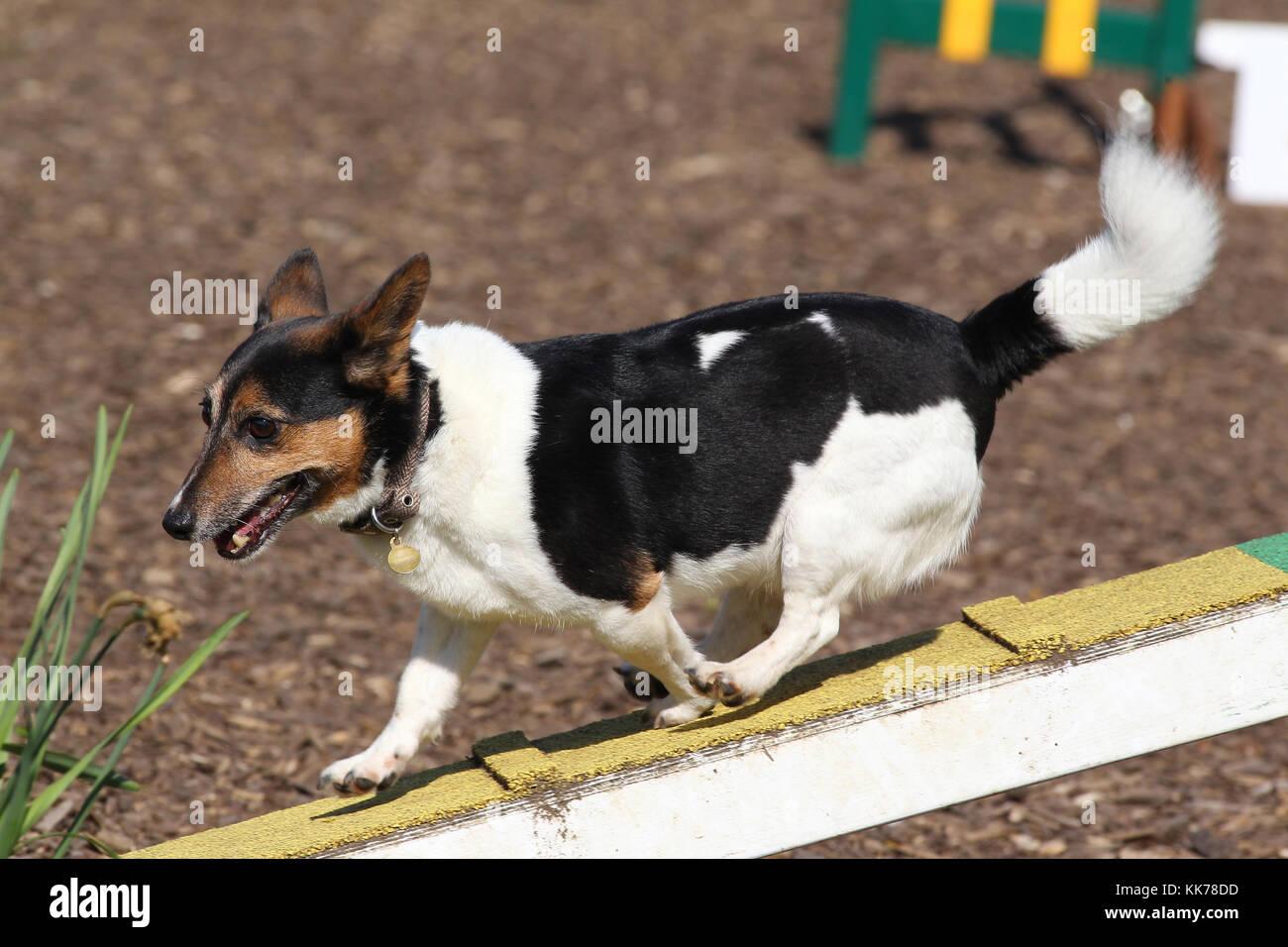 Agility Jack Russell Terrier, der Rampe Stockbild