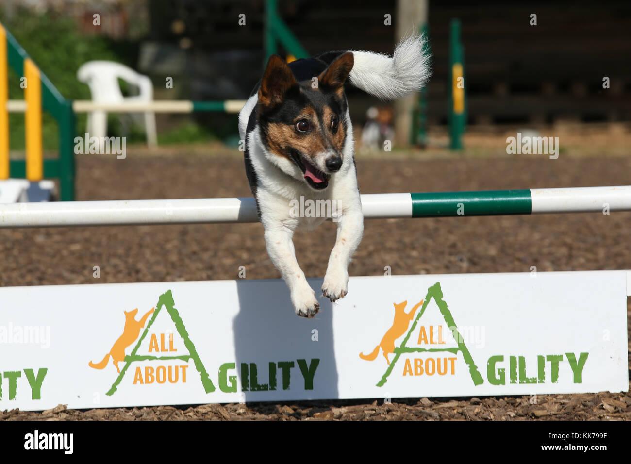 Jack Russell Terrier agility Hürde springen Stockbild
