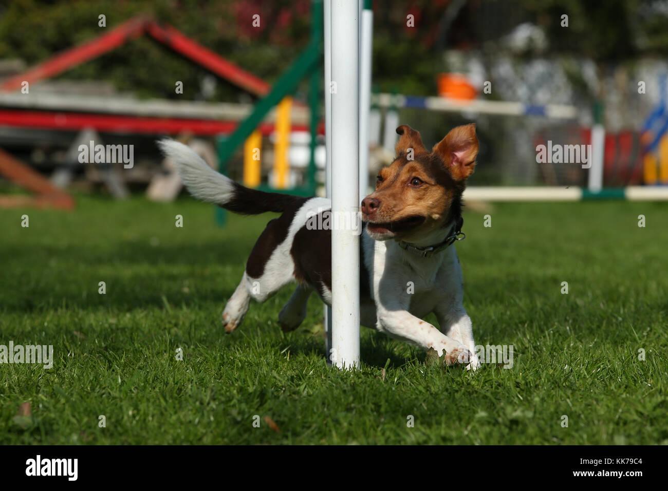 Agility Jack Russell terrier Weben Stockbild