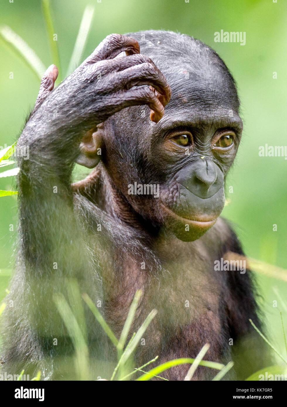 nahaufnahme portrait von bonobo cub in nat rlichen lebensraum gr n natur hintergrund der. Black Bedroom Furniture Sets. Home Design Ideas
