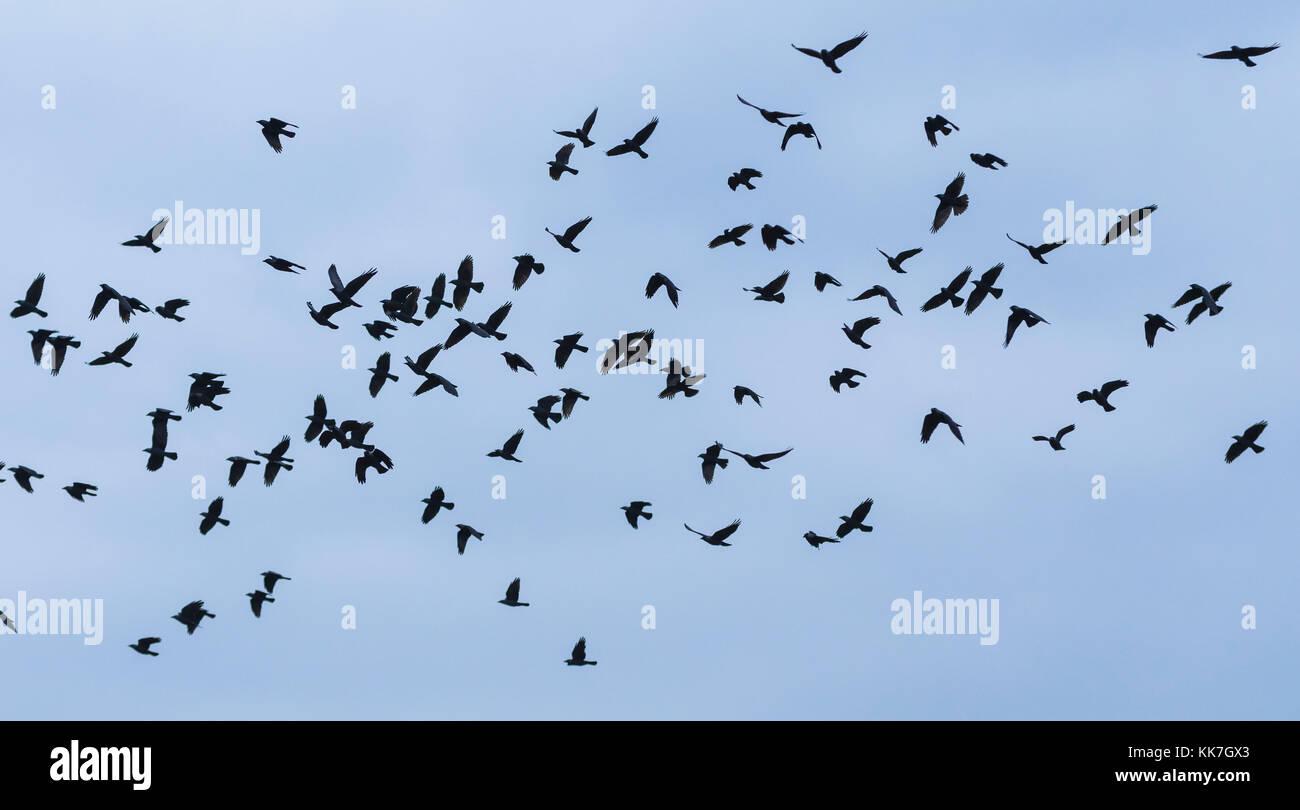 Herde von Rabenkrähen gegen den blauen Himmel in West Sussex, England, UK fliegen. Stockbild