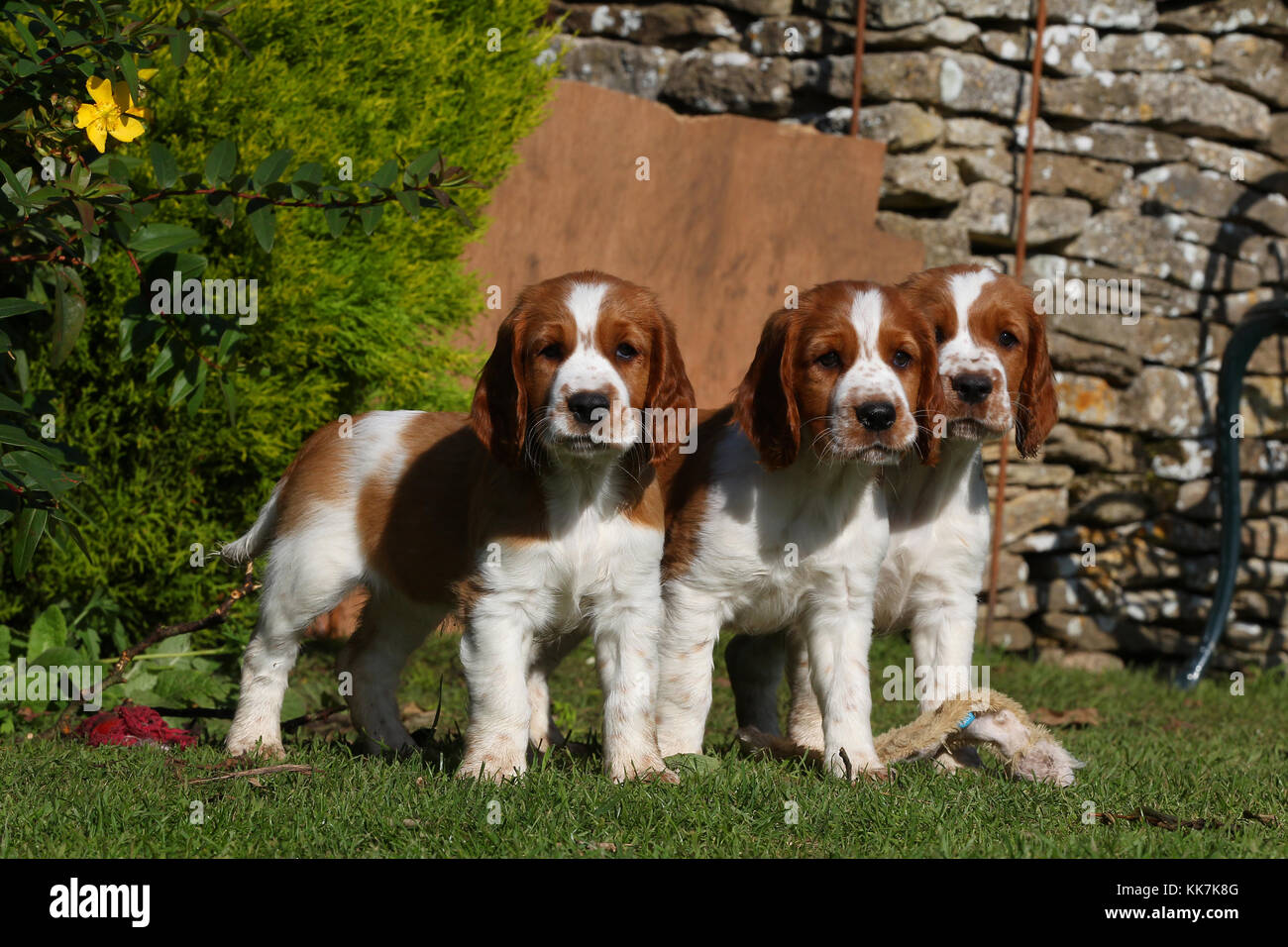- Welsh Springer Spaniel Welsh Springer Spaniel Welsh Springer Stockbild