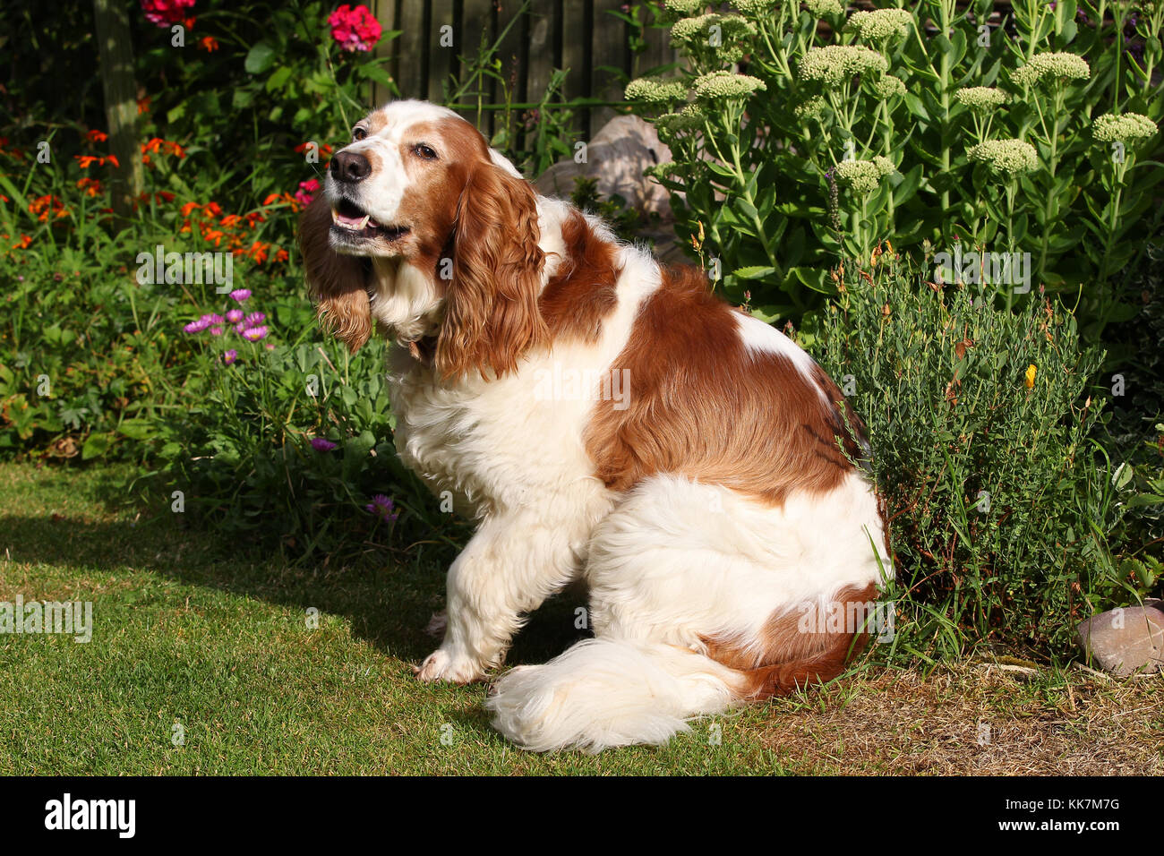 - Welsh Springer Spaniel Welsh Springer Spaniel Welsh Springer Stockfoto