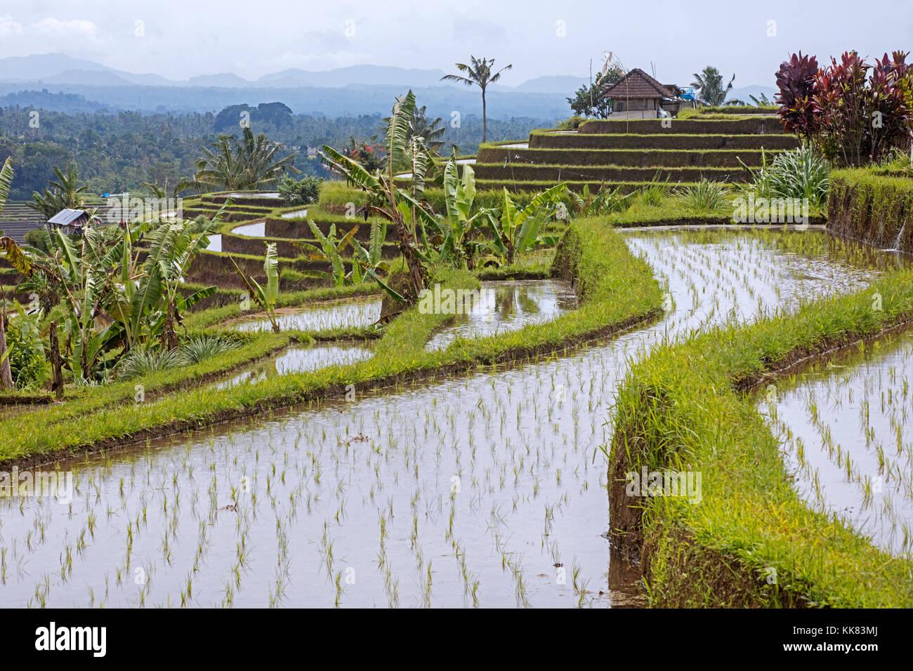 Jatiluwih terrassierten Reisfelder, Reisterrassen im Bergland von West Bali, Indonesien Stockbild