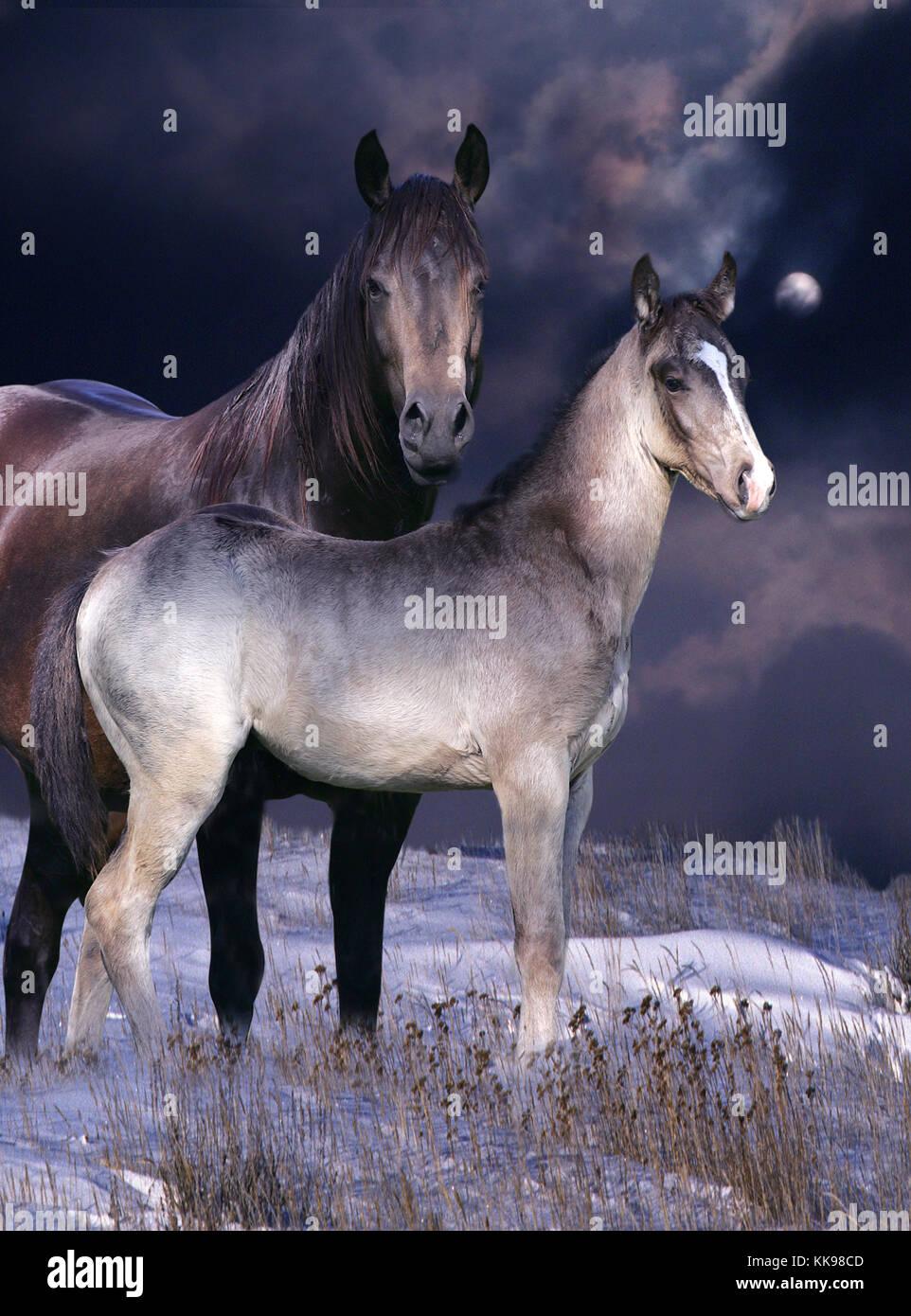Eine schöne Stute und Ihr Fohlen stehen in einer verschneiten Landschaft mit einem violetten Himmel hinter. Stockfoto