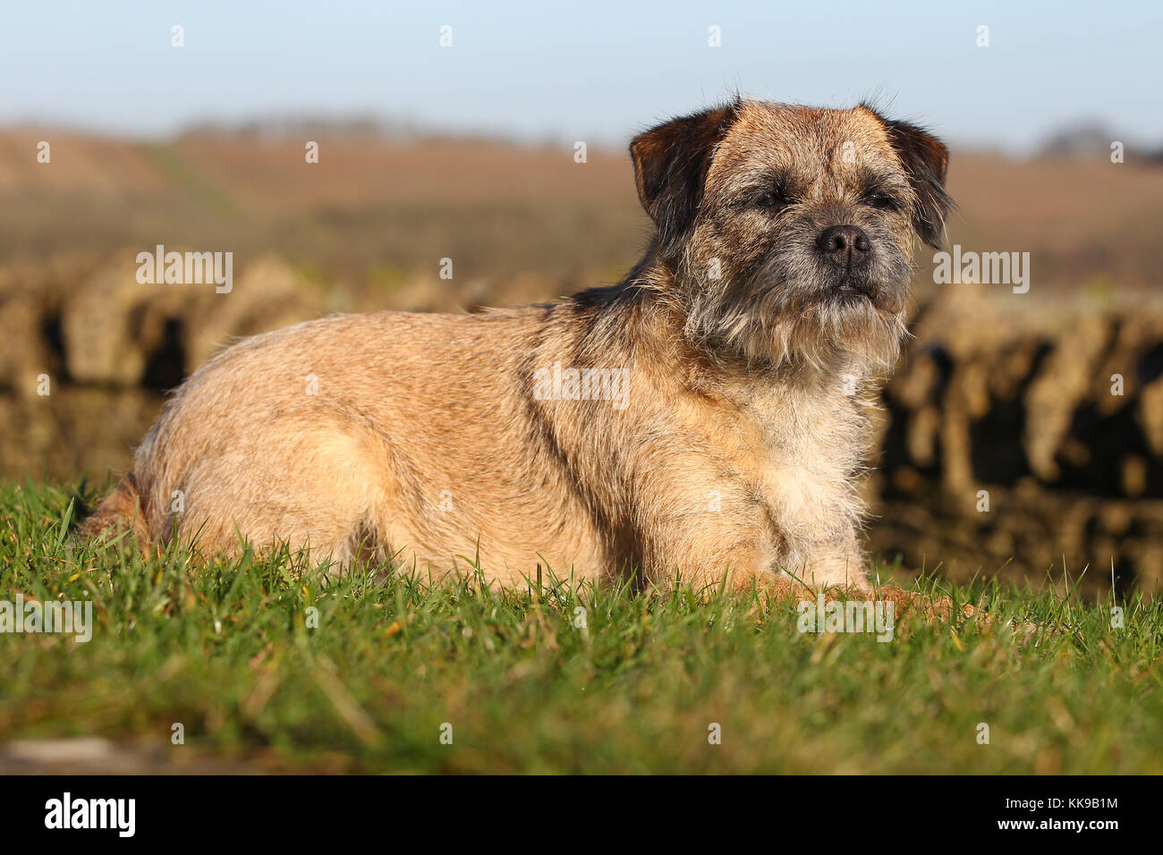 Boarder Terrier Stockbild