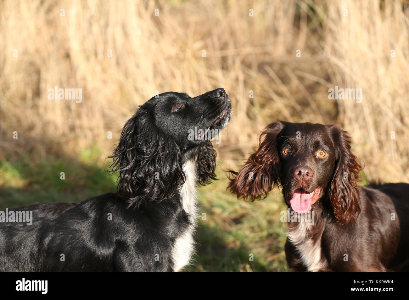 Spaniel-working Cocker Spaniel hunde Cocker arbeiten Stockbild