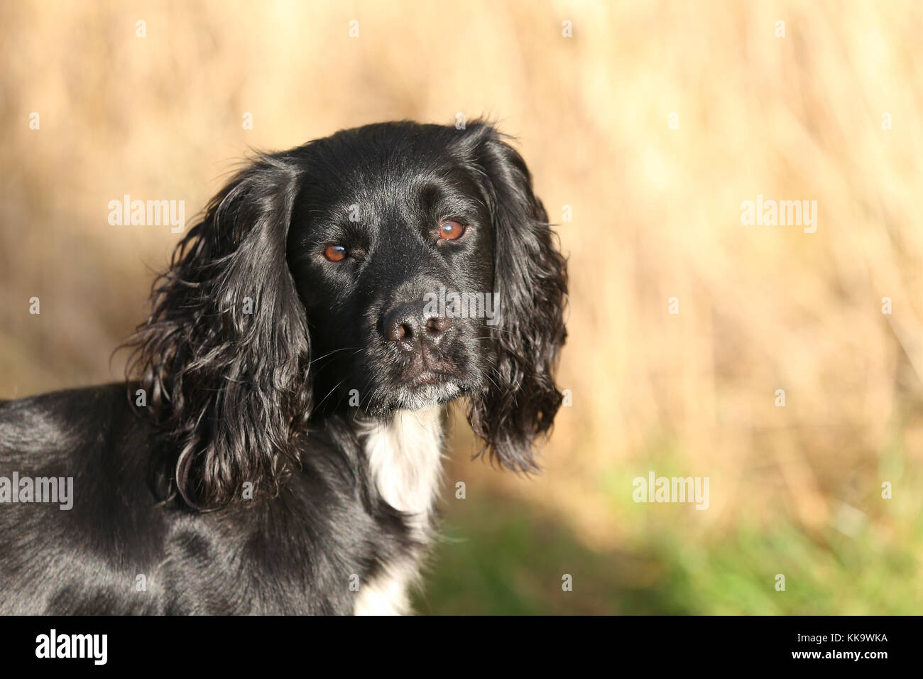 Spaniel-working Cocker working Cocker Spaniel headshot Stockbild