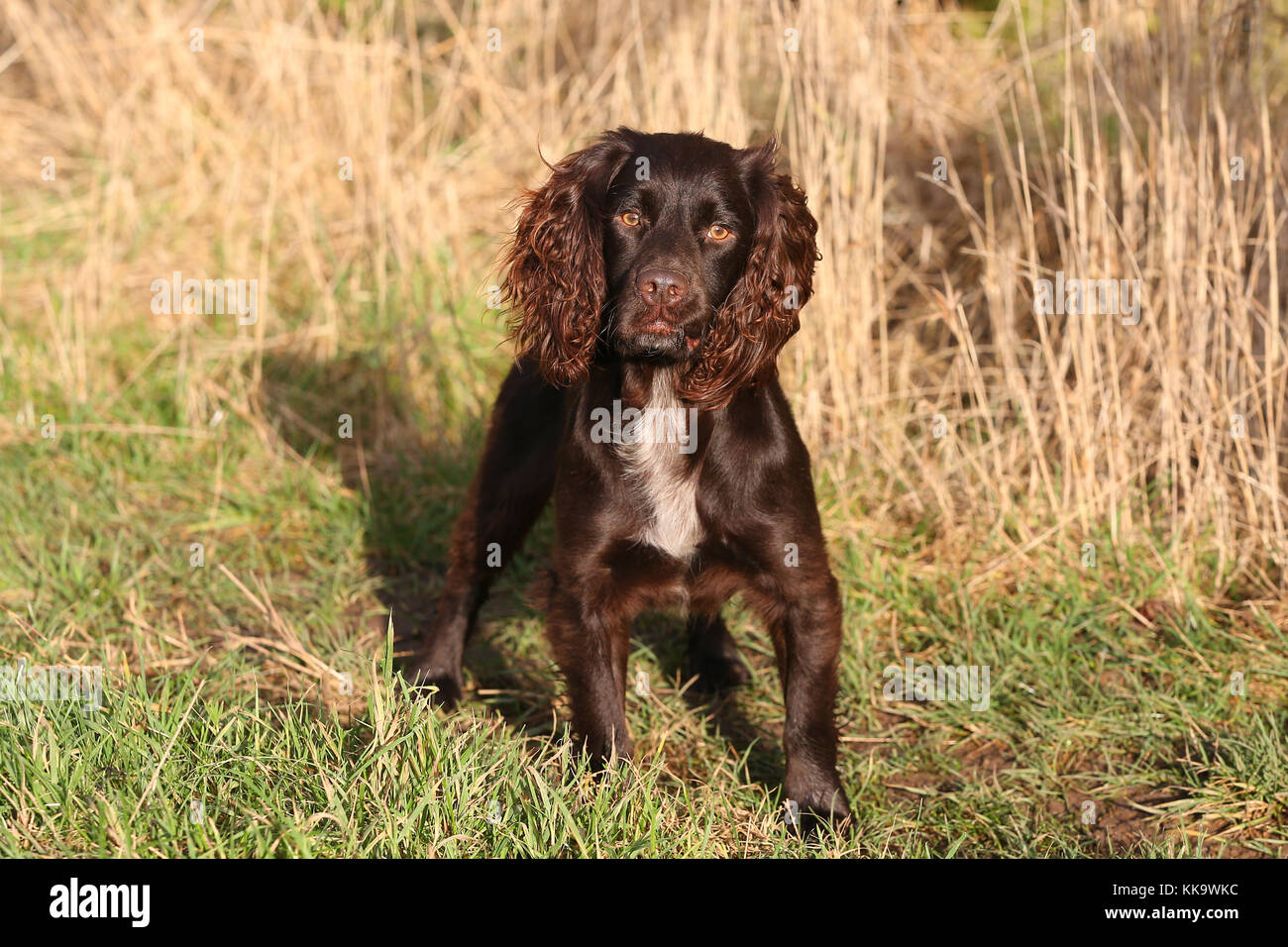 Working Cockerspaniel Stockbild