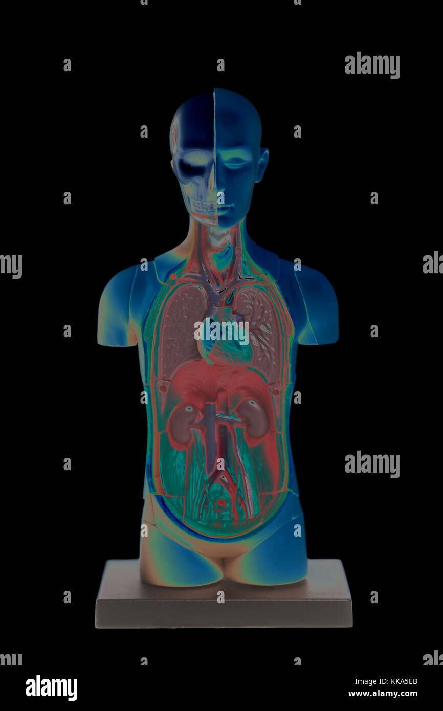 Groß Menschlicher Körper Anatomie Modell Bilder - Menschliche ...