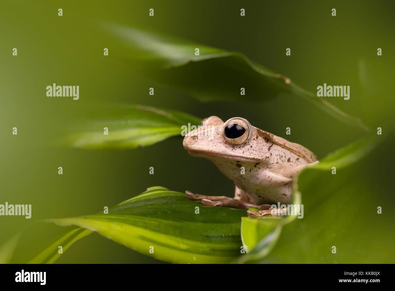 Nach Borneo eared Frosch auf grüne Blätter Stockbild