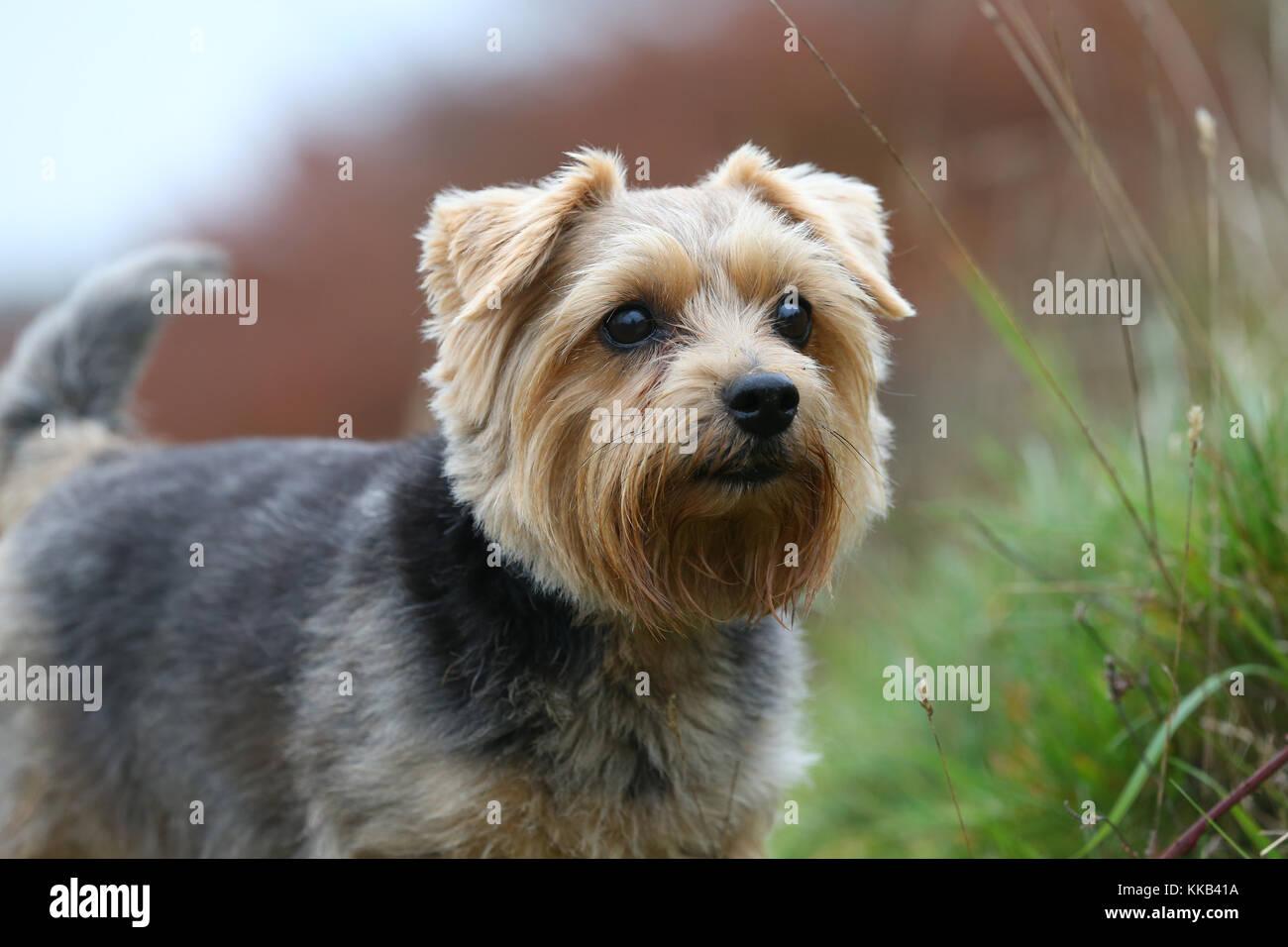 Norfolk terrier Stockbild