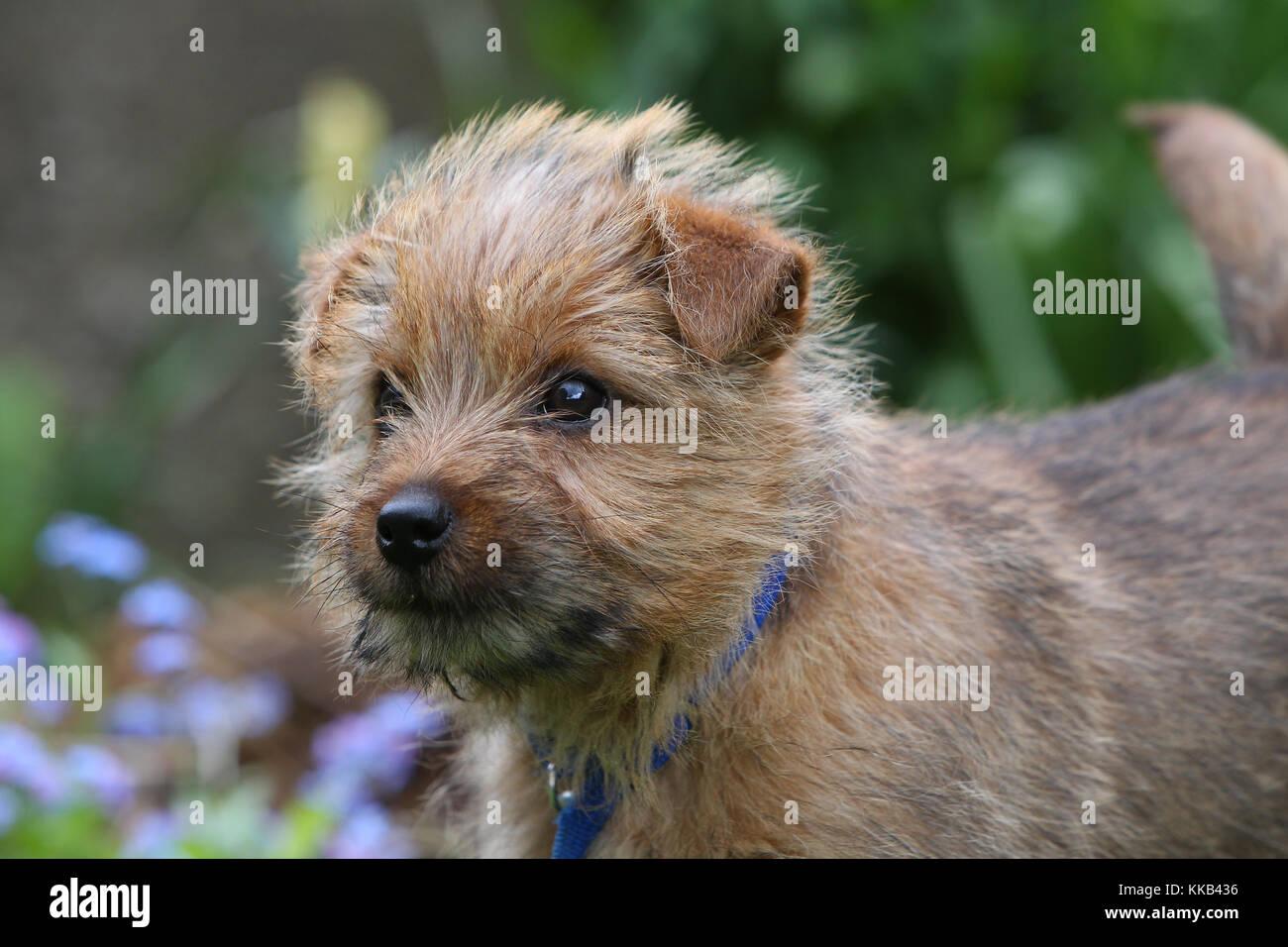 - Norfolk Terrier Norfolk Terrier Welpen Stockbild